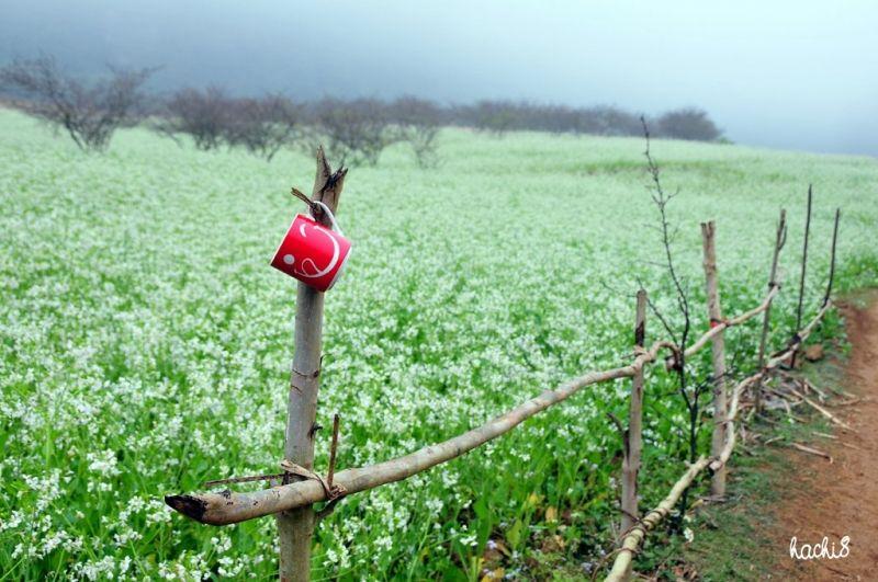 5. Hoa cải trắng tinh khôi ở Mộc Châu.