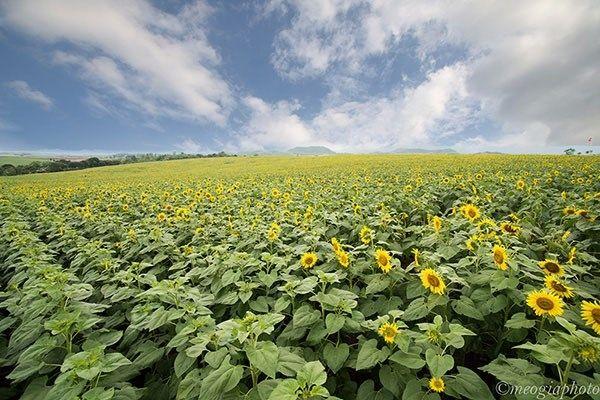 6. Cánh đồng hoa hướng dương-Nghệ An