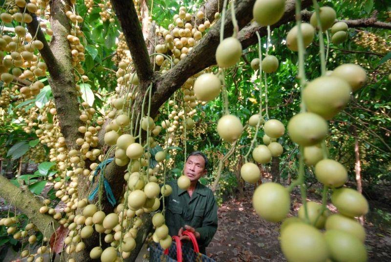Vườn cây ăn trái Cái Mơn