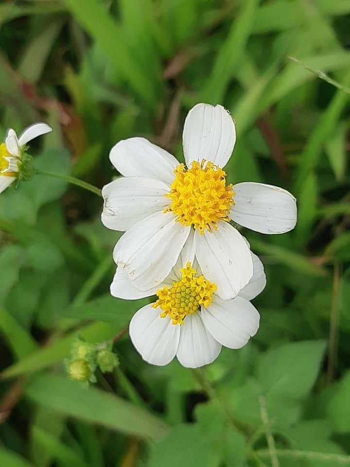 Bài thơ: Hoa cúc và mùa thu- Trần Diệu Hương