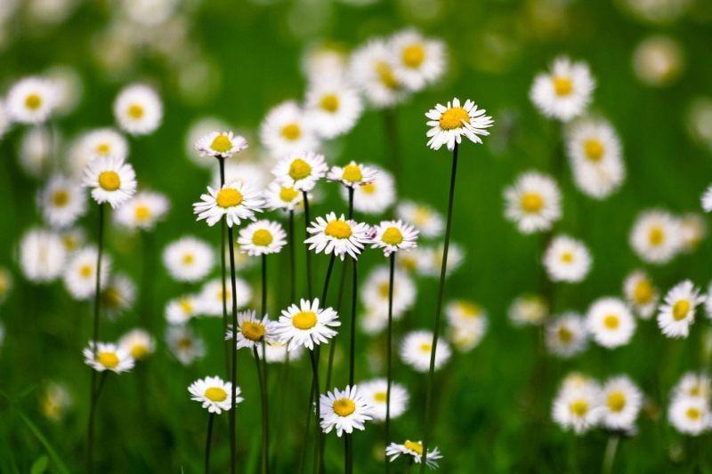 Bài thơ: Mùa thu hoa cúc - Nguyễn Nguyệt Anh