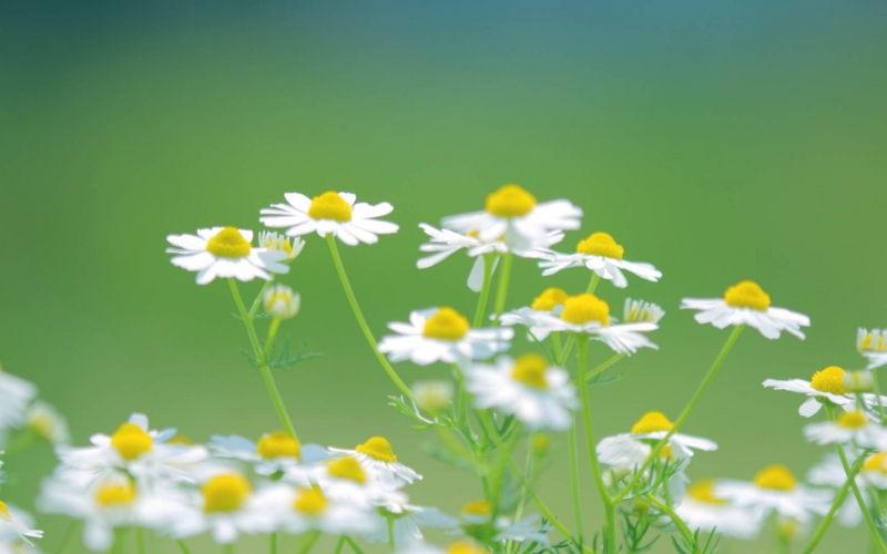 Bài thơ: Mùa thu và hoa cúc - Đỗ Hương