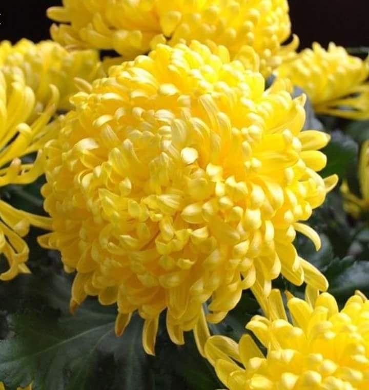 Bài thơ: Nỗi nhớ màu hoa cúc - Phan Thu Hà