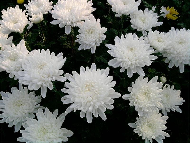 Bài thơ:: Nửa mùa hoa cúc - Phạm Quang Thu