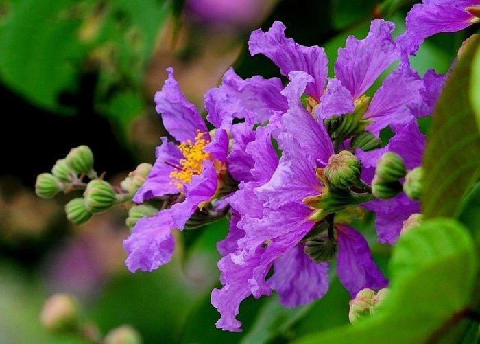 Hoa bằng lăng