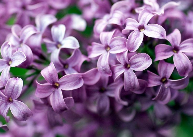 Hoa tử đinh hương