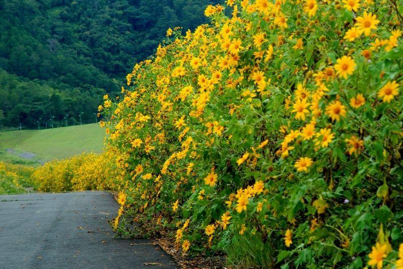 Mùa hoa Dã Quỳ - hoa Mimosa