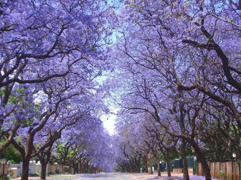 Mùa hoa Phượng Tím