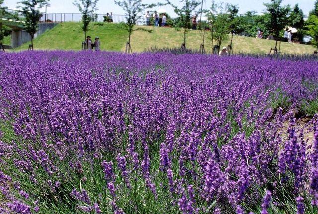 Cánh đồng hoa oải hương ở Đà Lạt