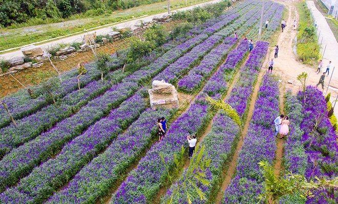 Cánh đồng hoa tím ở Bắc Hà – Lào Cai