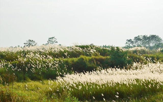 Cánh đồng lau ở Bình Liêu – Quảng Ninh