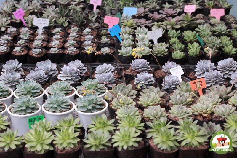 Sen đá mini Plant Garden