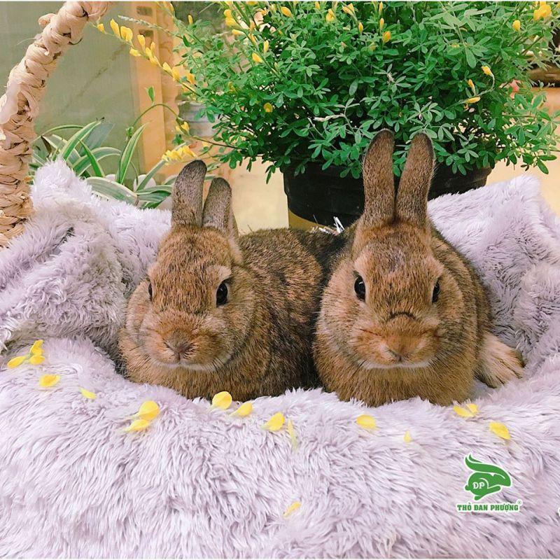 Thỏ Cảnh Mini Tại Hà Nội