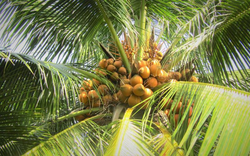 Dàn ý bài văn thuyết minh về cây dừa số 2