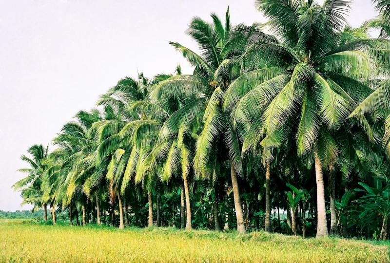 Dàn ý bài văn thuyết minh về cây dừa số 4