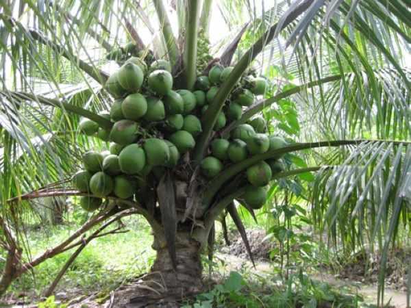Dàn ý bài văn thuyết minh về cây dừa số 7
