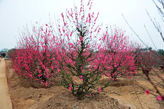 Thuyết minh về cây hoa đào