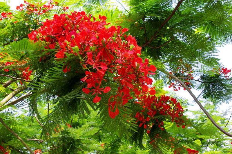 Thuyết minh về cây phượng