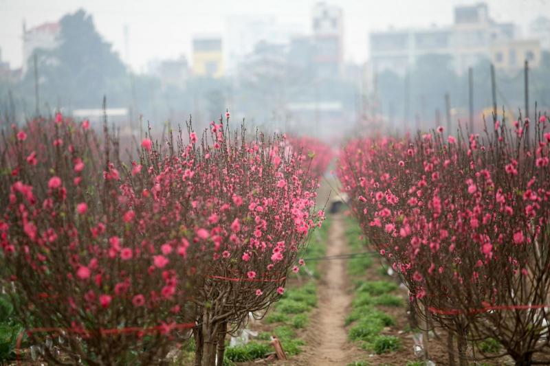Hoa đào Nhật Tân Hà Nội