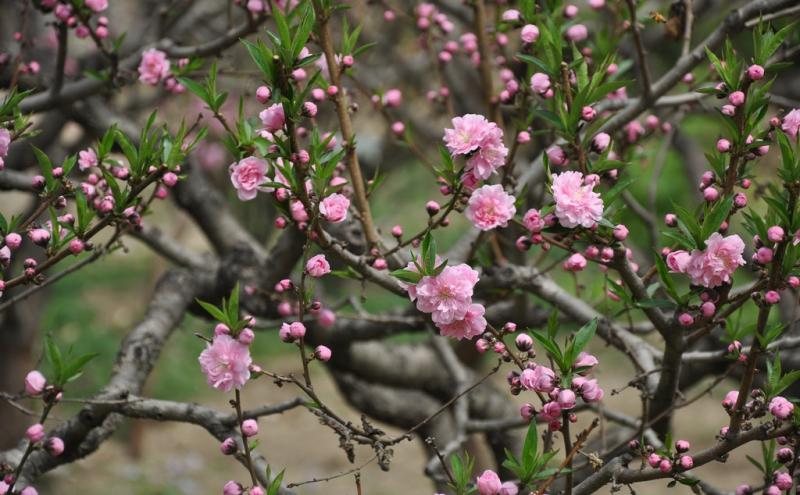 Hoa đào năm ngoái
