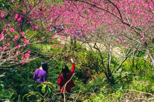 Hoa đào ở Mẫu Sơn