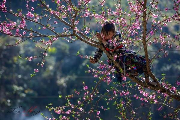 Hoa đào rừng Sa Pa