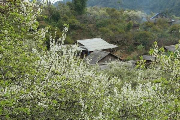 Hoa mận trắng Mộc Châu