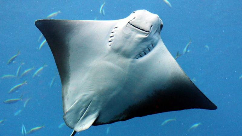 Cá đuối Manta tại sao có nguy cơ tuyệt chủng?