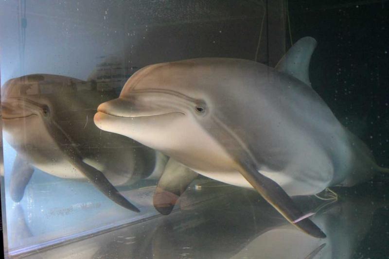 Cá heo có tuổi thọ là bao nhiêu năm?