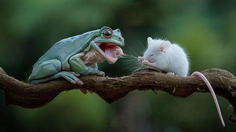 Ếch Và Chuột