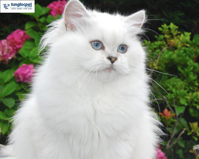 Mèo Anh lông dài (Brittish Longhair)