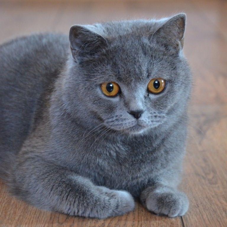 Mèo Anh lông ngắn (British Shorthair)