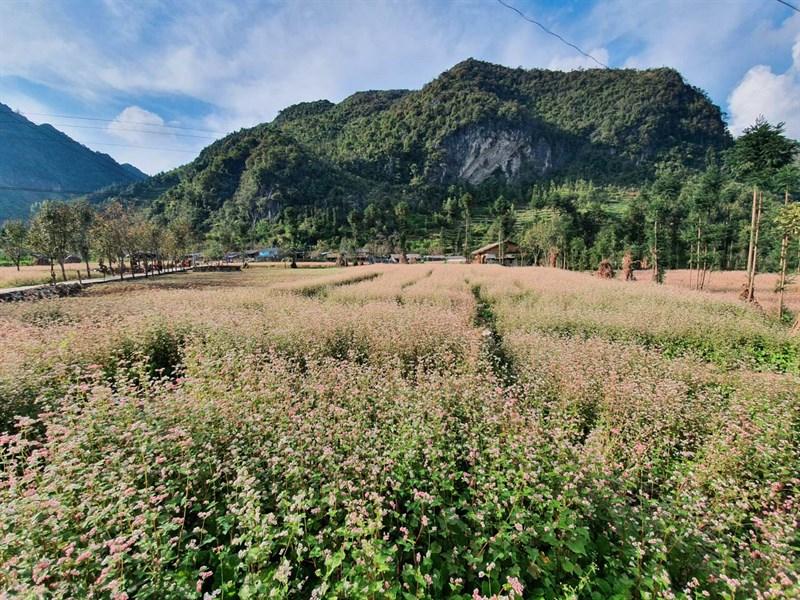 Hà Giang – Tháng 11: Mùa hoa tam giác mạch