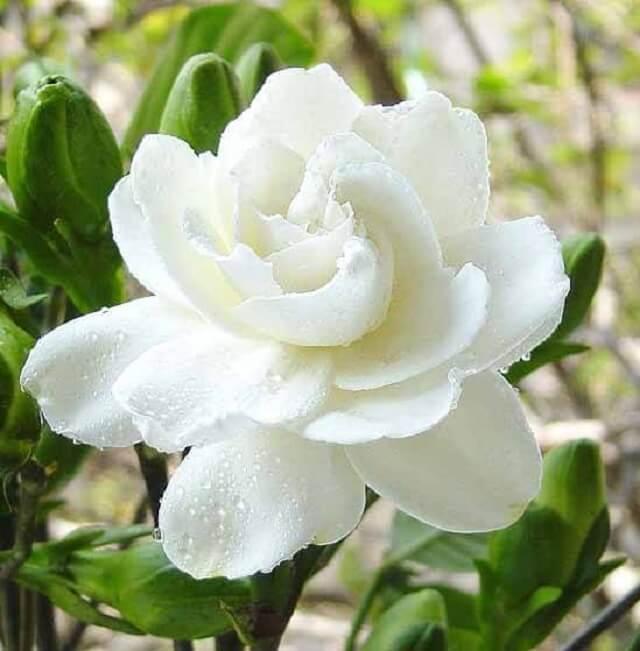 Hoa dành dành (Gardenia) có mùi hương ngọt ngào đặc trưng