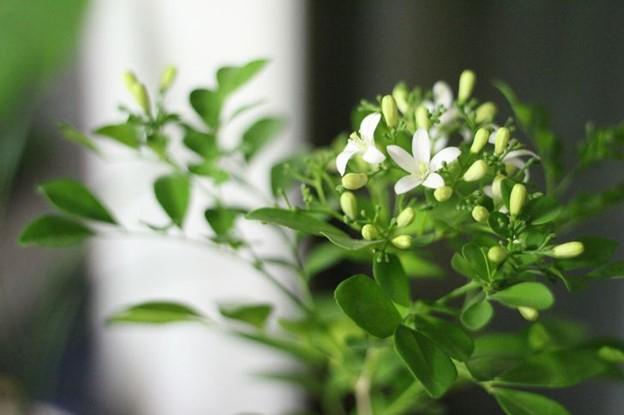Hoa nhài có mùi hương dịu ngọt