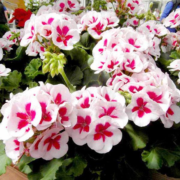 Hoa phong lữ có mùi chanh