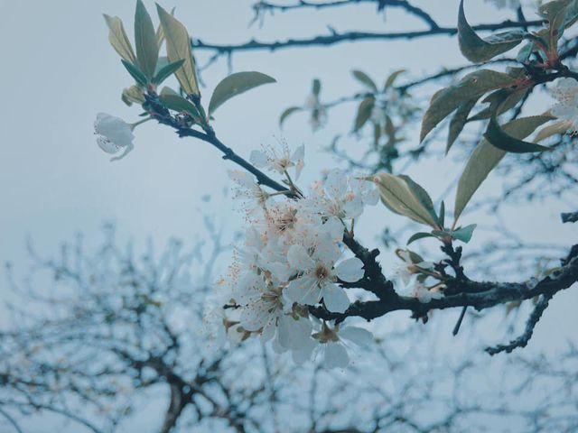 Mộc Châu: Tháng 3 – Hoa mận nở trắng trời