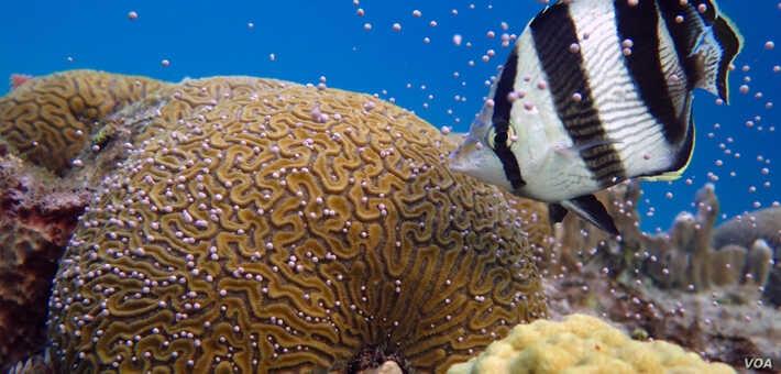 Tái tạo các rạn san hô bằng phương pháp nhân giống trong ống nghiệm