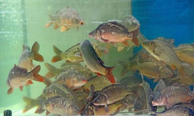 Cá bơi trong bể chưa chắc đã đảm bảo chất lượng