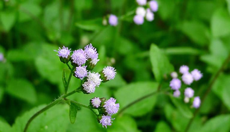Chữa viêm mũi dị ứng bằng cây hoa ngũ sắc (cỏ hôi)