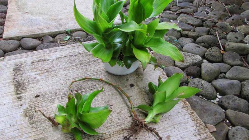 Dùng cây lược vàng chữa viêm amidan