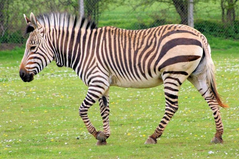 Màu đen trắng của ngựa vằn là tấm lá chắn bảo vệ khỏi những kẻ săn mồi