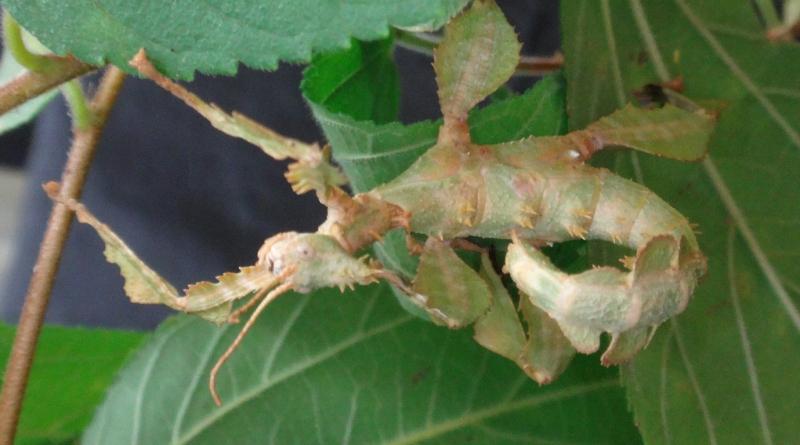 Bọ que lá Spiny sử dụng tư thế cong khi treo ngược trong tán lá và nó có thể thay đổi màu sắc