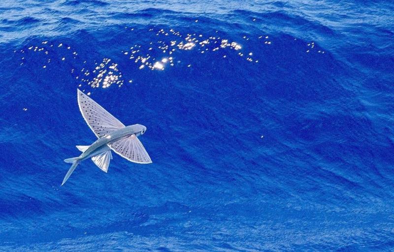 Cá chuồn có phần mở rộng hai bên thân người đặc biệt giúp chúng có thể lướt trên mặt nước