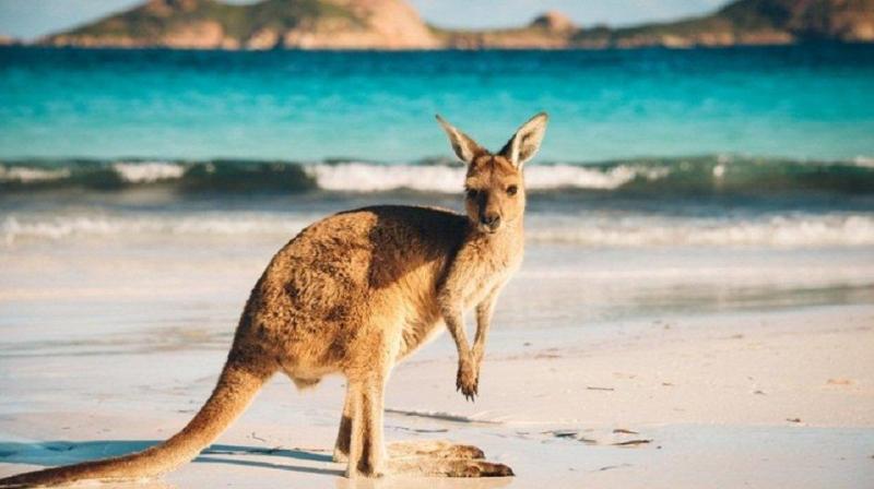Hòn đảo Kangaroo - Úc