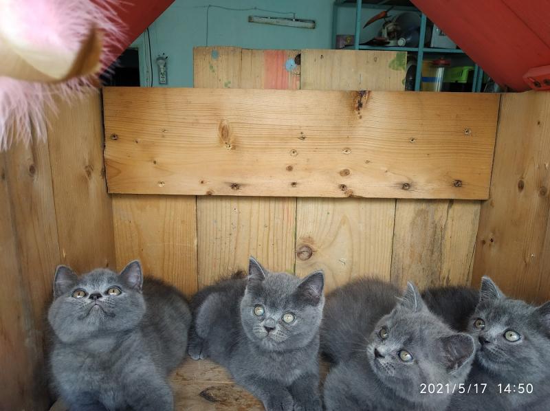 Meo Meo Cattery - Trại Mèo Anh Thuần Chủng