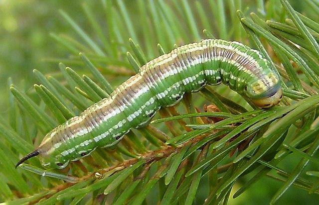 Sâu bướm đã tiến hóa hình dạng của mình để tránh những kẻ săn mồi