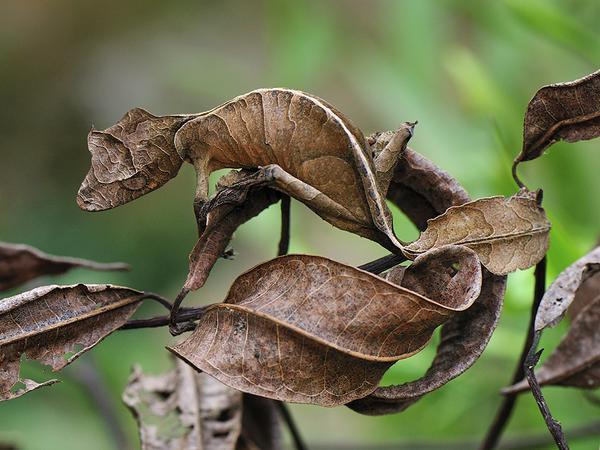 Tắc kè Uroplatus đã phát triển một lớp da giúp chúng ngụy trang khiến không ai có thể nhìn ra được hình dáng