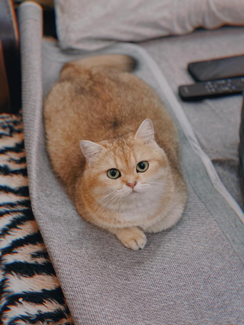 Trại Mèo Nhà Chin - Chin's House Cattery