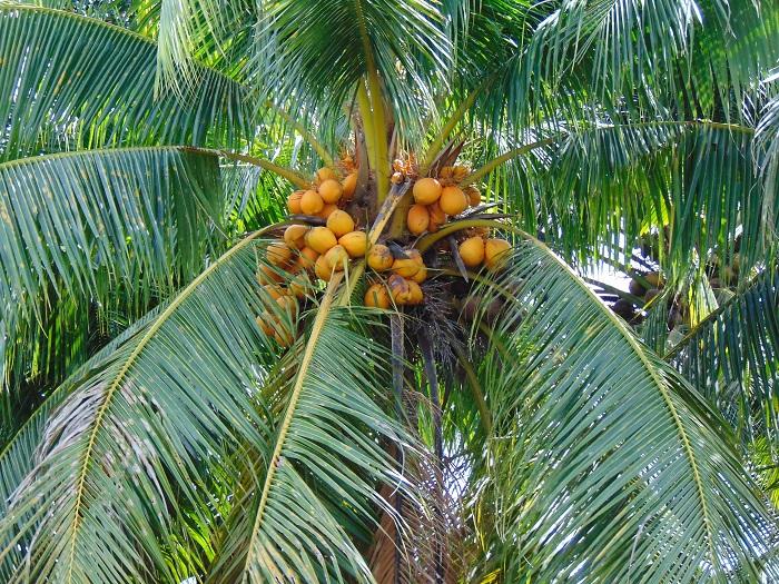 Bài văn thuyết minh về Cây dừa số 2